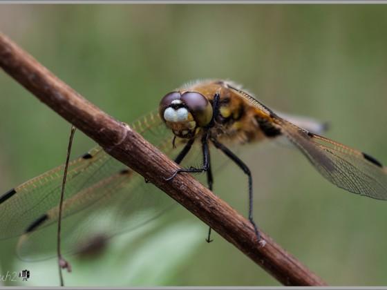 Vierfleck Libelle - Marko