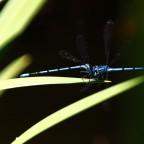 Libelle blau 4