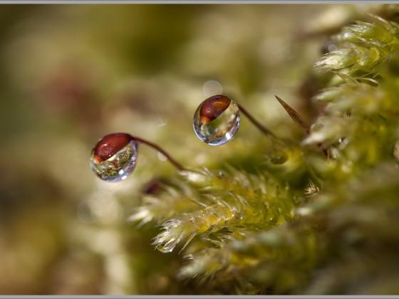 Wassertropfen an Moosblüte
