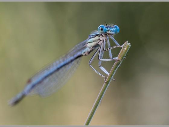 Azur-Jungfer Libelle
