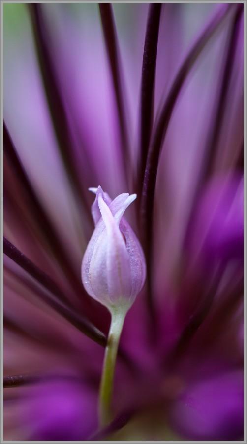 Alliumblüte - eine Zierzwiebel