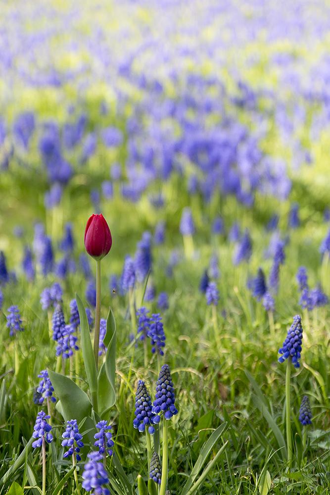 Tulipan im Britzer Garten - Berlin 2013
