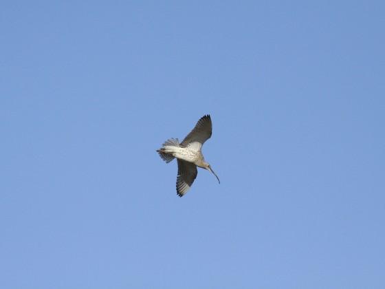 Großer Brachvogel auf Norderney