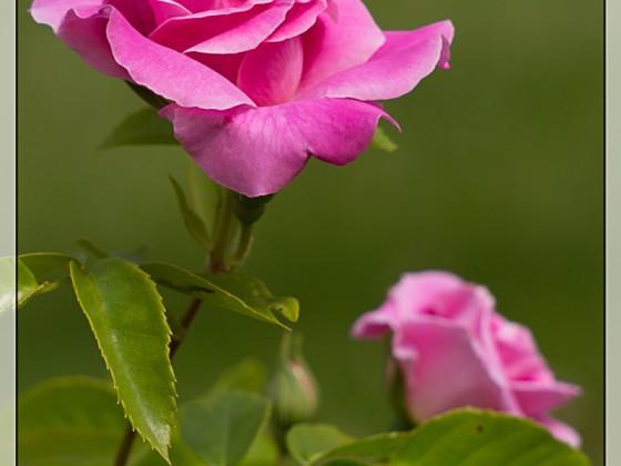 """Rosa sp. """"Heilige Elisabeth"""""""