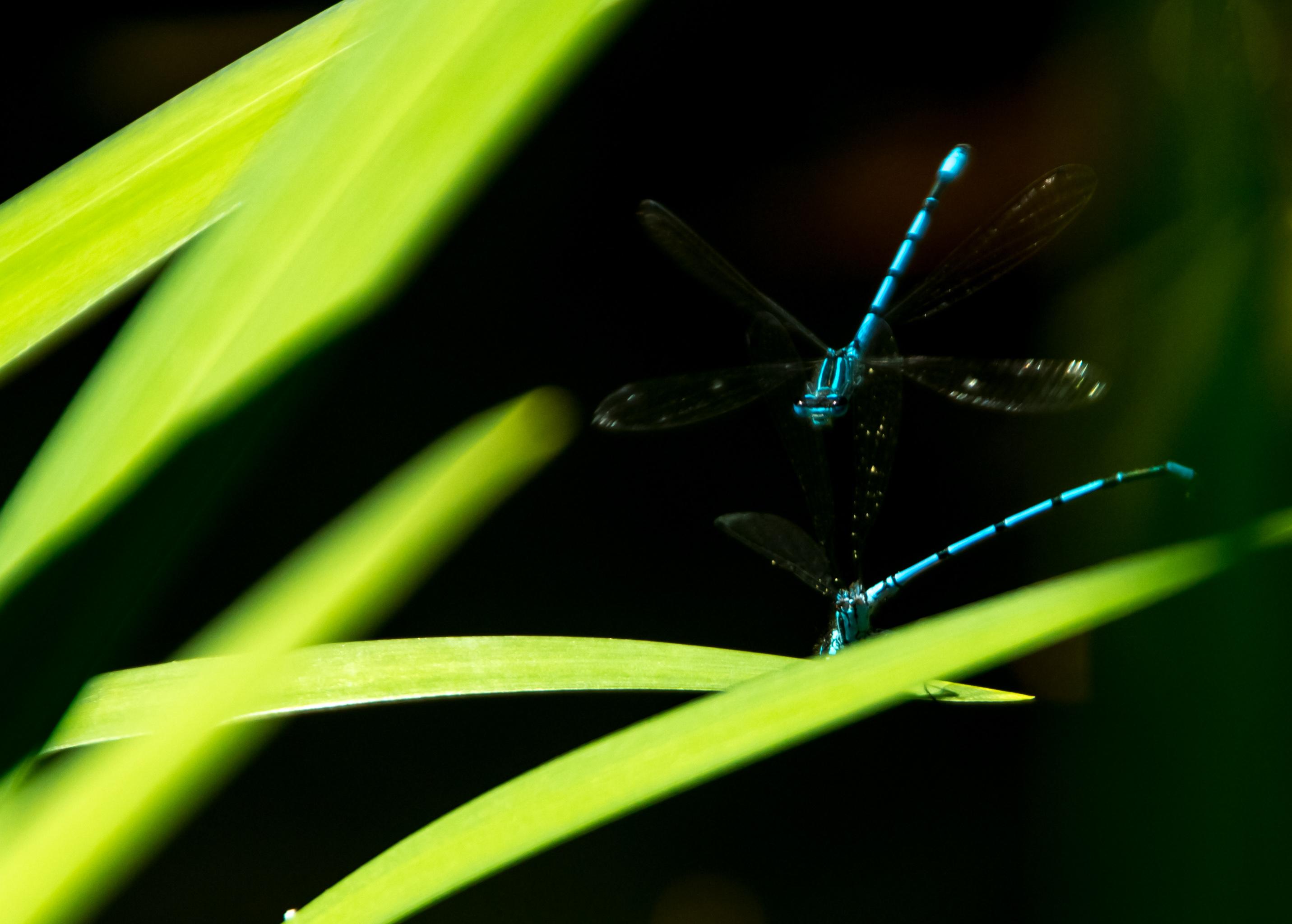 Libelle blau 3 (1 von 1)