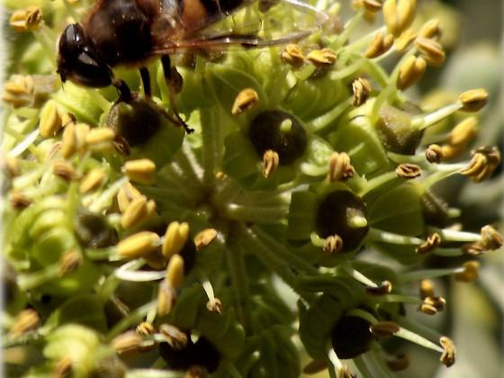 Insekt  im Efeu